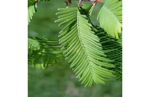Séquoïa de Chine (Métaséquoia)