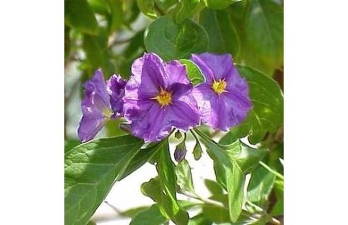 Solanum (Morelle, Pomme de kangourou)
