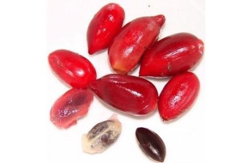 Syncepalum dulcificum ( Fruit miracle - Miracle fruit )