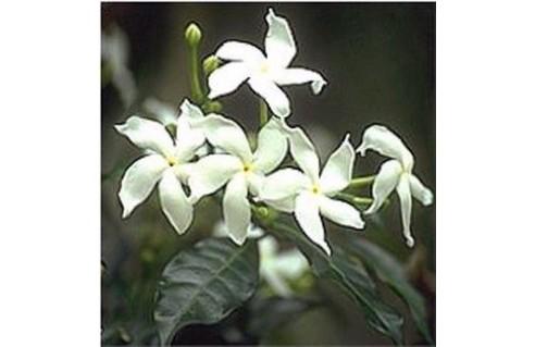 Tabernaemontana (Gardénia de Floride)