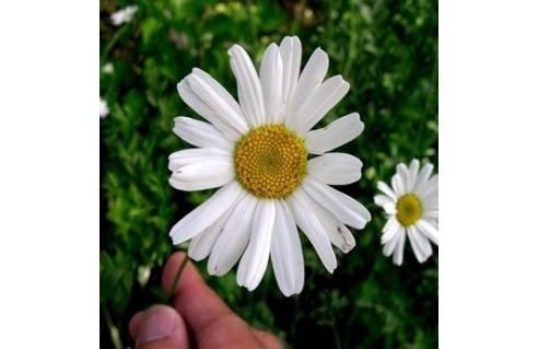 Tanacetum (Pyrèthre de Dalmatie, chrysanthème insecticide)