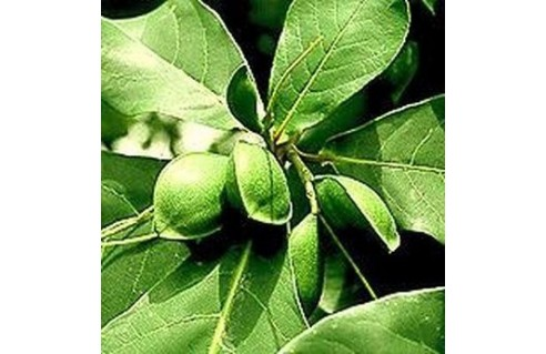 Terminalia (Badamier, amande tropicale, amande-pays)