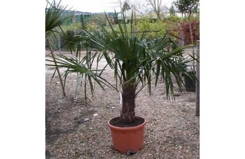 Trachycarpus (Palmier chanvre - Palmier de Chine - Palmier du Kumaon )