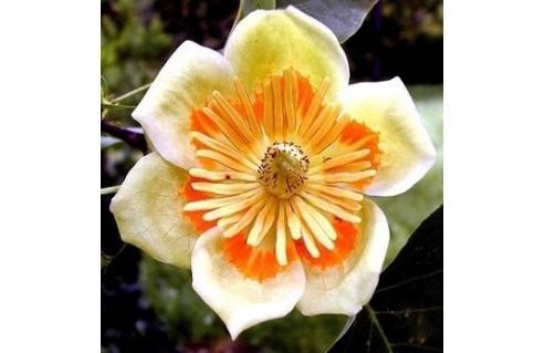Tulipier de Virginie (Liriodendron)