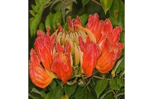 Tulipier du Gabon, (Spathodea)