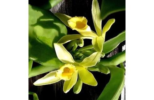 Vanilla (Vanille - Orchidée vanille, Vanillier)