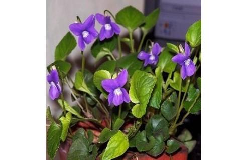 Viola (Violette de Toulouse)