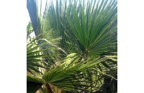 Washingtonia (Palmier éventail)