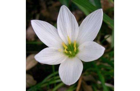 Zephyranthes (Lys Zéphyr)