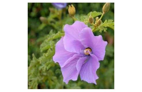 Plantes pour la serre ou la véranda froide (Orangerie)