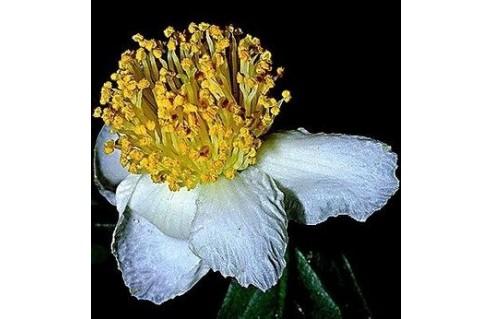 camelia sinensis the theier arbre a the
