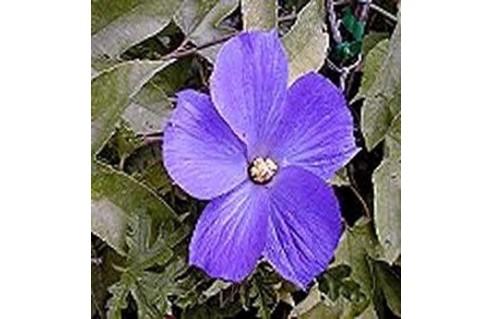 Alyogine (Hibiscus bleu d'Australie)