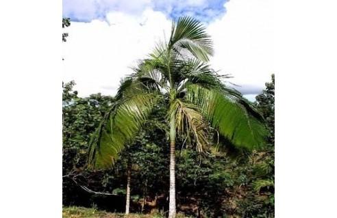 archontophoenix-palmi