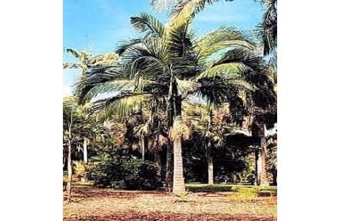 palmier-royal-archontophoenix