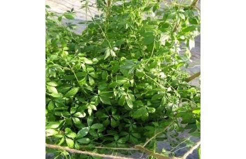 gynostemma-pentaphyllum-the-de-l-immortalite