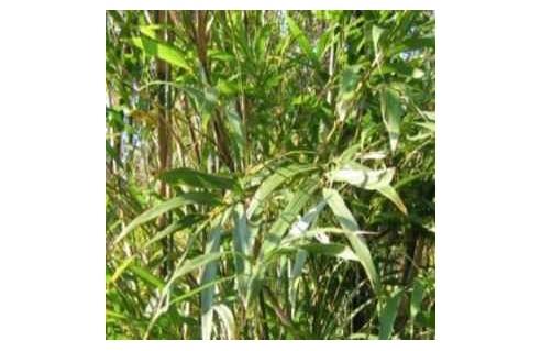 Bambous moyens