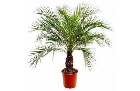 Vente en ligne de palmiers exotiques et tropicaux à petits prix toute l'année !