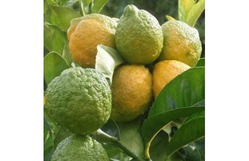 collection-de-fruitiers-tropicaux-adultes
