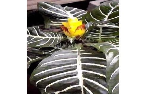 Aphelandra (Plante zèbre)