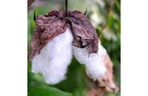 Arbre à coton, Cotonnier arbustif (Gossypium)