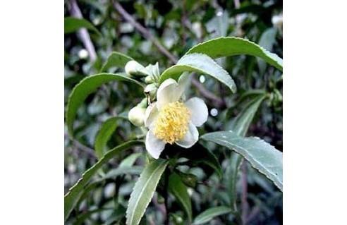 Arbre à Thé, Théier, Thé (Camellia sinensis)