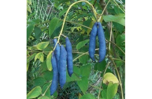 Arbre aux haricots bleus (Decaisnea-fargesii)