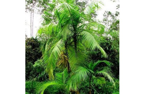 Chou palmiste (Coeur de palmier, Euterpe edulis)