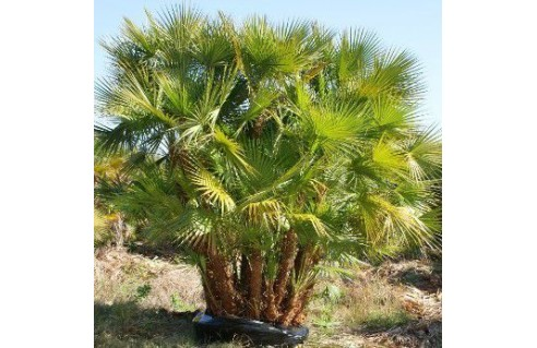 Acoelorraphe wrightii (Palmier des Everglades) Acoelorrhaphe