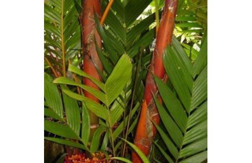 Areca vestiaria (palmier coucher de soleil)