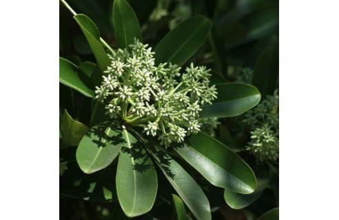 Alstonia scholaris (arbre du diable)