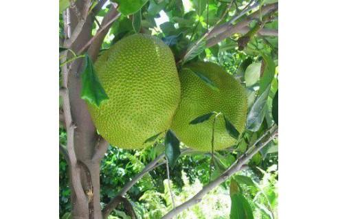 Artocarpus (Arbre à pain ou jackfruit)