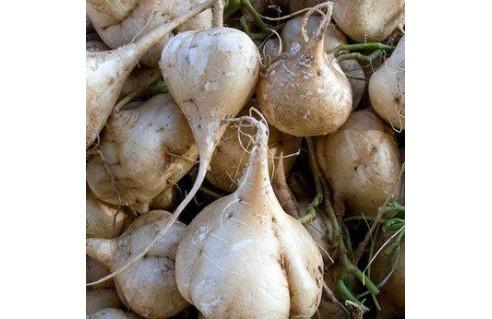 Jicama (Pachyrhizus erosus)