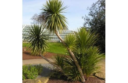 Cordyline palmier yucca