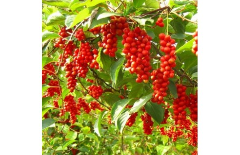 Schisandra chinensis (baie aux 5 saveurs)
