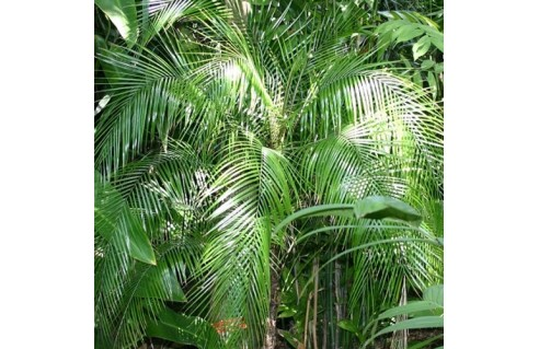 palmier du brésil (Lytocaryum weddellianum)