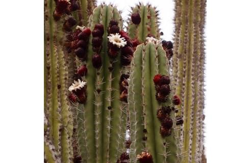 plantes du désert, agave aloe cactus cordyline dasylirion dracaena Pachycereus Trichocereus Stetsonia