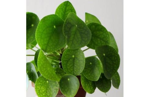 Plante à monnaie chinoise (Pilea peperomioides, plante du missionnaire)