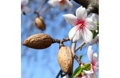 Amandier (Prunus dulcis)