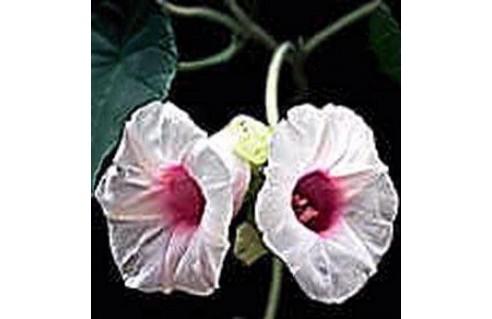 Argyreia (Liane d'argent)