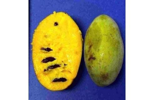 Asimina (Asiminier, Paw Paw)