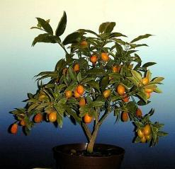 Citrus fortunella Kumquat
