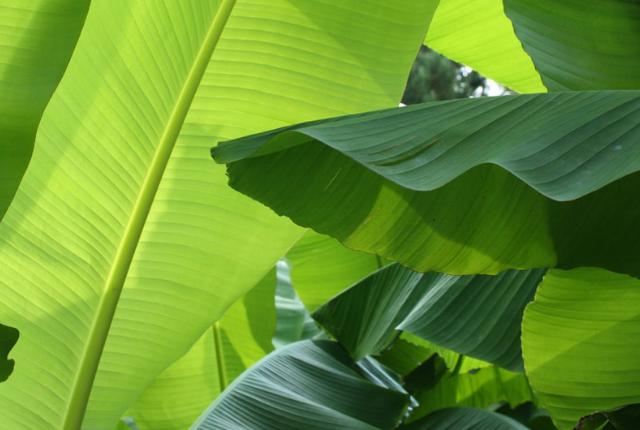protéger ses bananiers