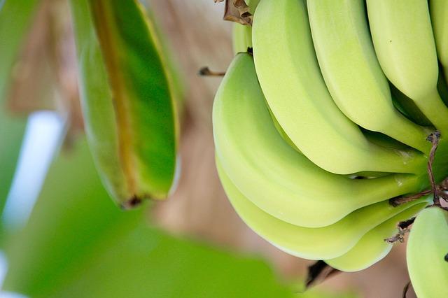 La culture des bananiers