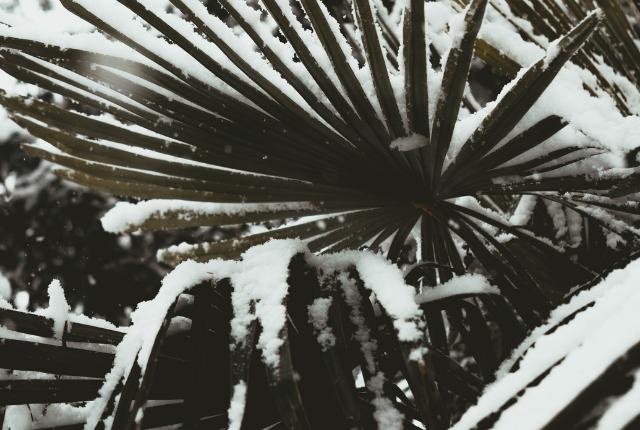 protéger ses palmiers