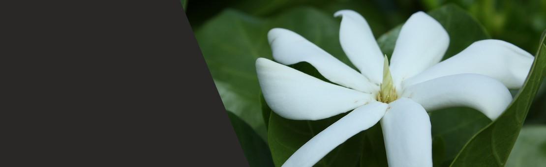 une plante mythique