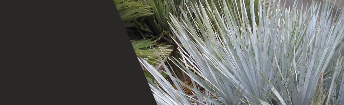 Chamaerops-humilis-var-cerifera