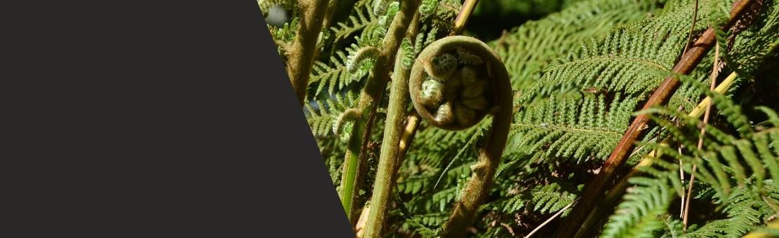 Dicksonia antartica : la rustique